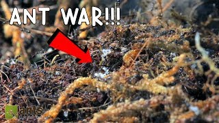 Ant War: Battle Of The Three Armies