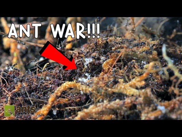 ANT WAR: BATTLE OF THE THREE ARMIES!