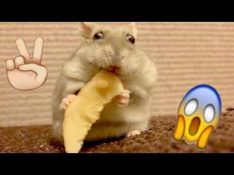 ХОМЯЧОК СЕМА И БАБУЛЯ) Смешное видео про ДЖУНГАРИКОВ ХОМЯЧКОВ!