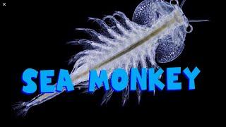 Sea Monkeys | Ферма креветок будинку| Сі Манки   ЧАСТИНА 1