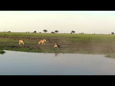 Lion catches crocodile - Chobe River