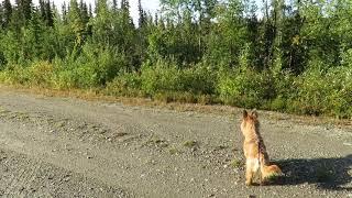 Nilla och Freia jagar hare