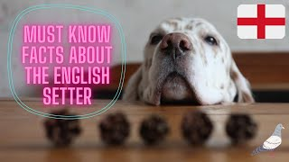 Getting To Know Your Dog's Breed: English Setter Edition