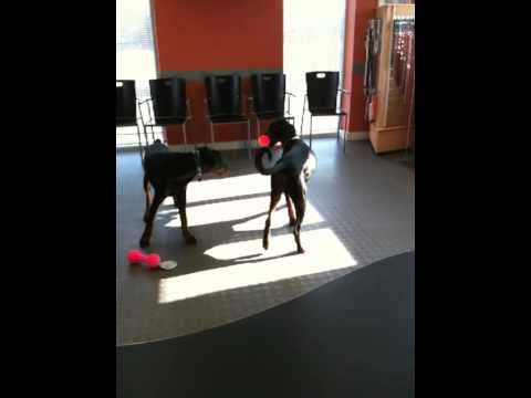 Dobermans - Mia, Monty at the vets. - The Hamilton Clan