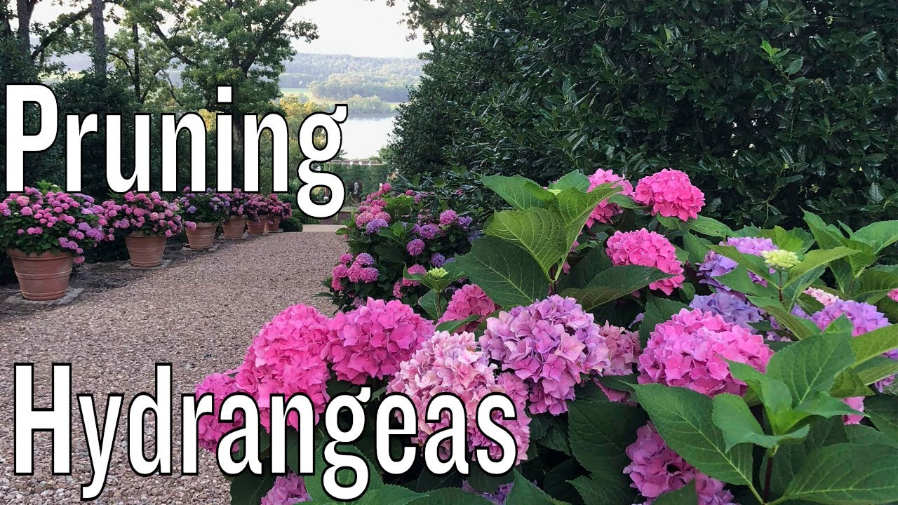 Pruning Hydrangeas Youtube