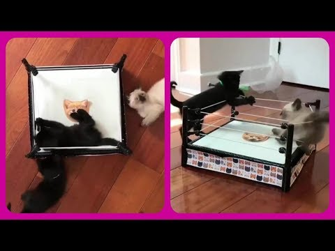 Cats, Funny cat: Cute cats fighting boxing