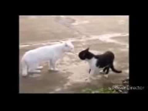 Cats talking Creole