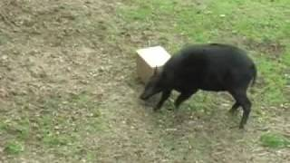 Anoa Attacks A Box at the L.A. Zoo