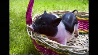 How To House or Litter Box Train Your Pot Belly Pig; Pot-Bellied Pig Secrets