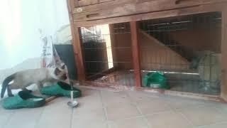 Bunny vs kitten.. but bunny escapes..