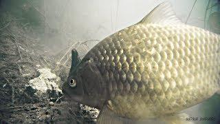 Реакция рыбы на ЖМЫХ и РОГА! Линь, Карась Подводная съемка