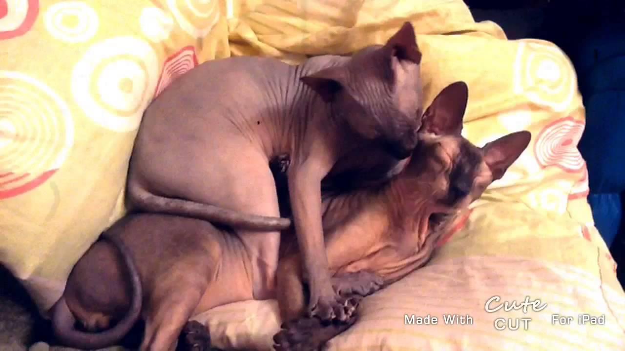 My Cute Cats =^_^= Милашные сфинксы) - YouTube