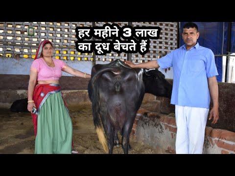 24 kg milk ready,,biggest udder buffalo@4th timer,,Alwar(Rajasthan)