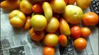 как сделать чтобы помидоры дозревали в доме