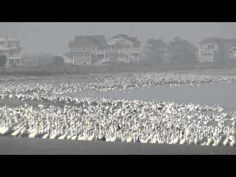 Snow Goose flock - Sussex County, Delaware