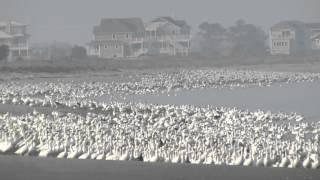Snow Goose flock - Sussex County, Delaware