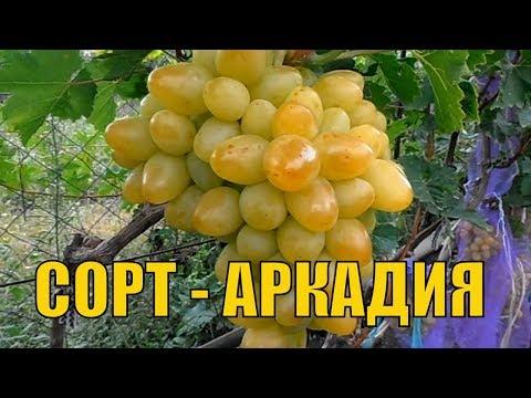 Урожайный виноград. Сорт винограда Аркадия.