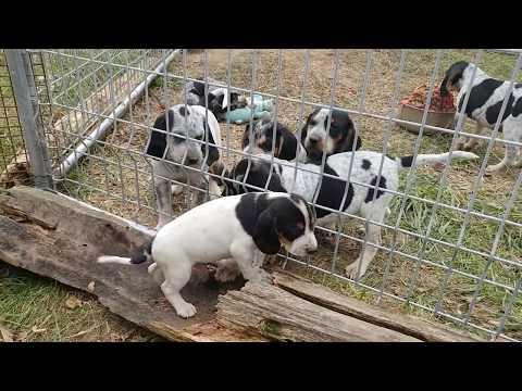 5.5 week Beagles and 7 week Bluetick Coonhound puppies