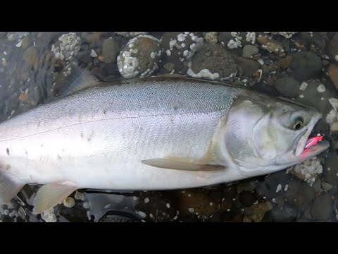 Fly Fishing For Pinks From The Beach(Lots Of Fish)