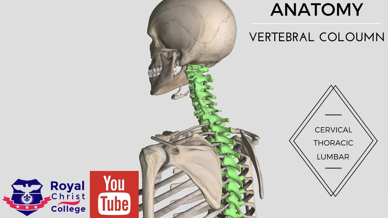 Anatomy Of The Vertebral Coloumn 3d Anatomy Cervical Thoracic