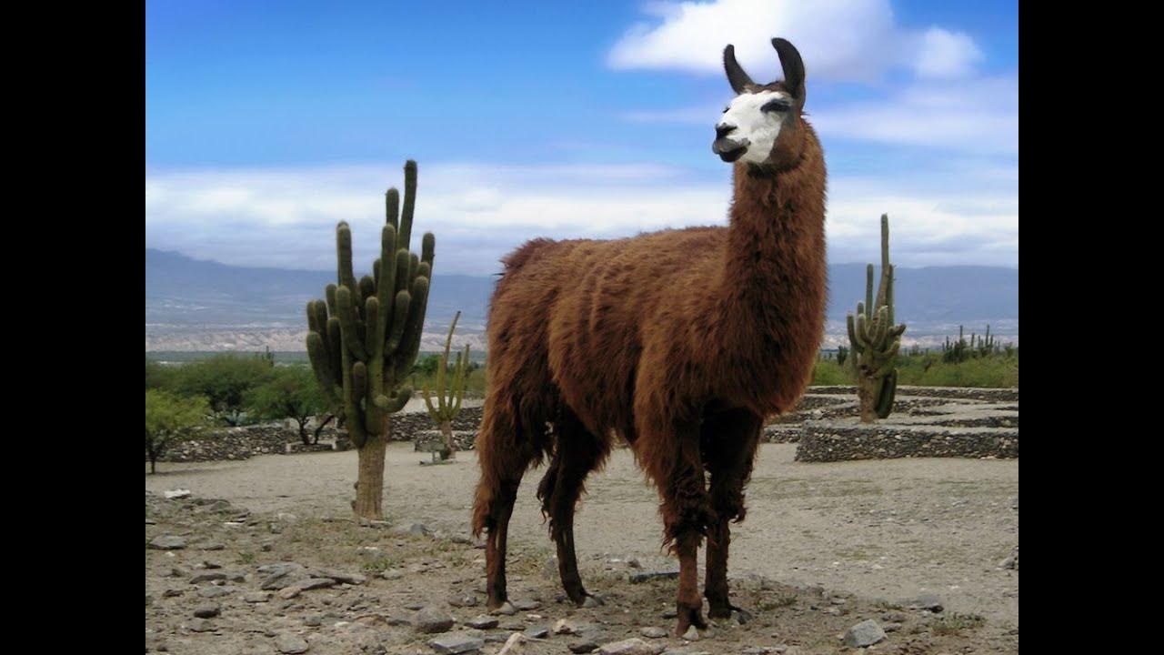 حيوان لاما - Lama glama سبحان الله علي الجمال