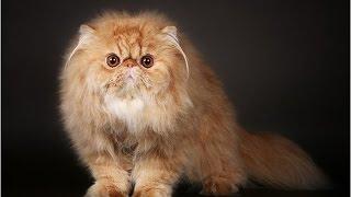 Persian / Персидская кошка
