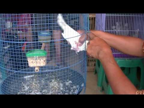 Burung Derkuku Putih Mata Merah Sinom Sasa Bf 01 Derkuku Putih Albino Youtube