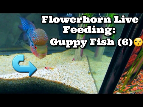 Flowerhorn Live Feeding : Guppies **GRAPHIC** + EPIC FAIL With The Guppy Fish