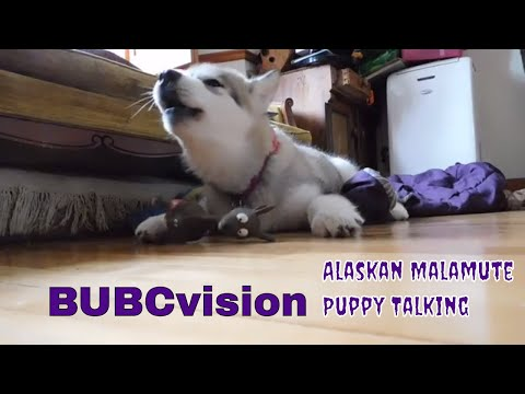 Alaskan Malamute Puppy Dont Talk Back Squeaky Toy