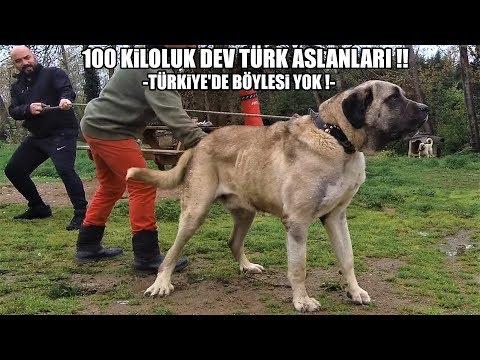 100 KİLOLUK DEV TÜRK ASLANI !(TÜRKİYE'DE BÖYLESİ YOK) giant Dog #kangal #malaklı #anadoluçobanköpeği