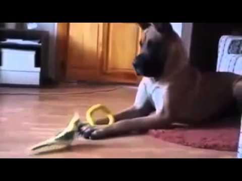 Funny Dog   Great Dane vs Bird
