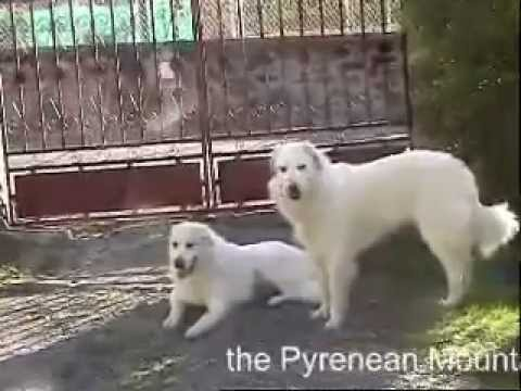 Pyrenean Mountain Dog - Great Pyrenees (breed standard)