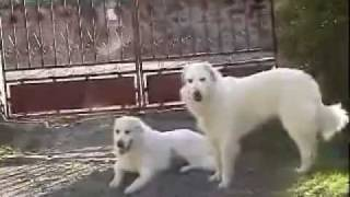 Pyrenean Mountain Dog  Great Pyrenees (breed standard)