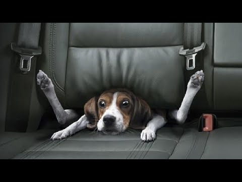 Перевозите животных в машине? Это смертельно опасно!