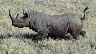 Hunter says killing rhinos will help save the species