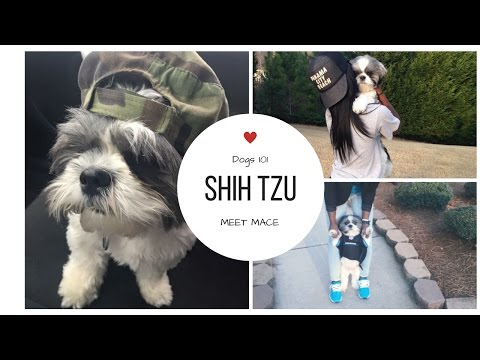 Are You REALLY Ready for A Pet?   Shih Tzu 101 + Meet Mace