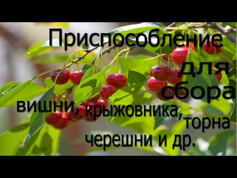 Лучшие сорта крыжовника - Сады Сибири