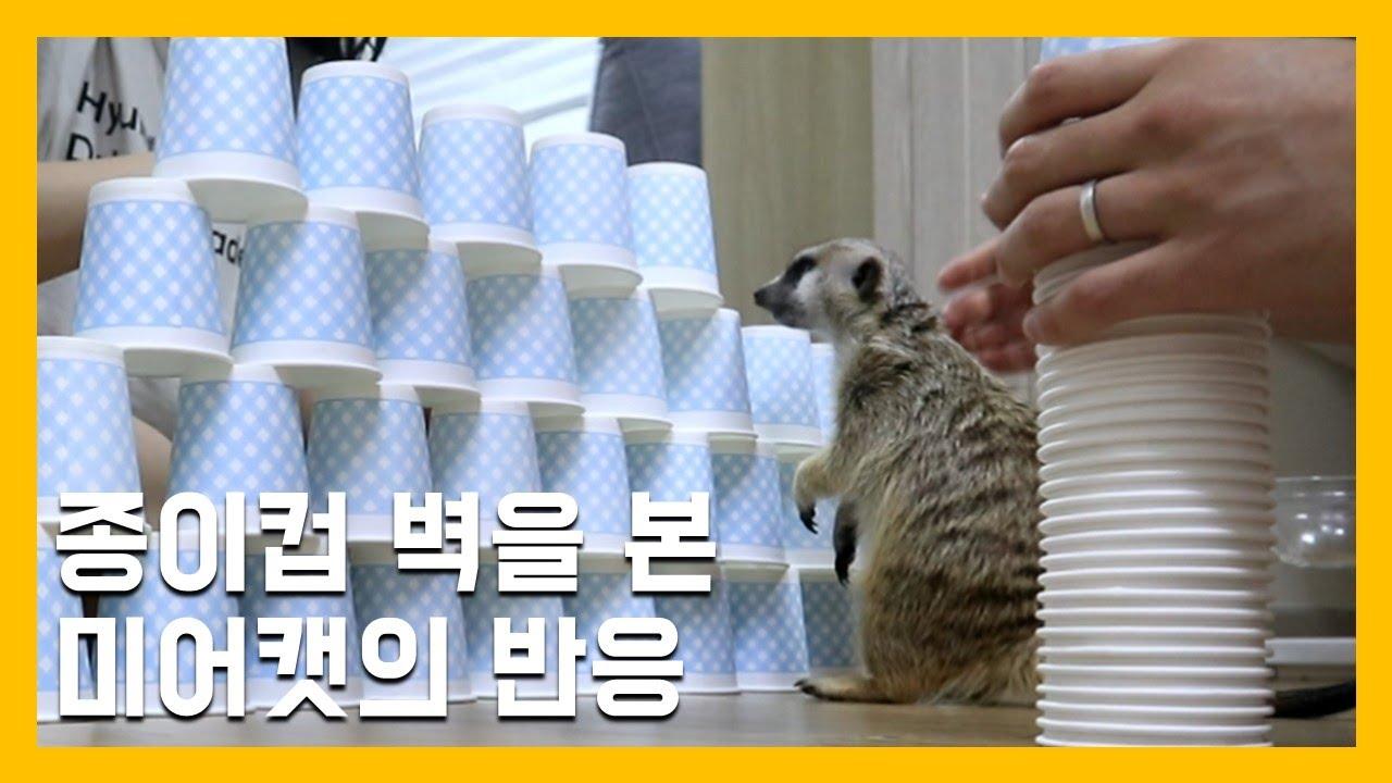 종이컵 벽을 본 미어캣의 반응 [냥이아빠]