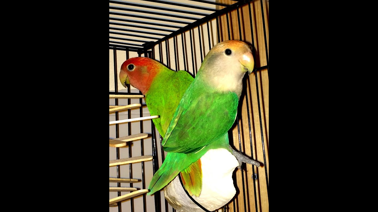 Lovebird  Bringing home a new mate for your lovebird