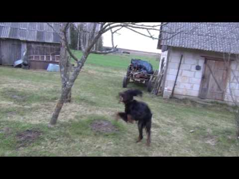 Gordon setter Geldie 4 years old