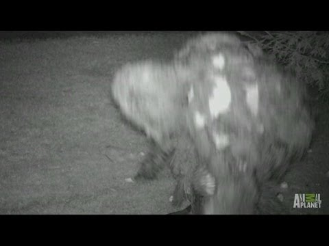 Mother Bigfoot with Baby? | Finding Bigfoot