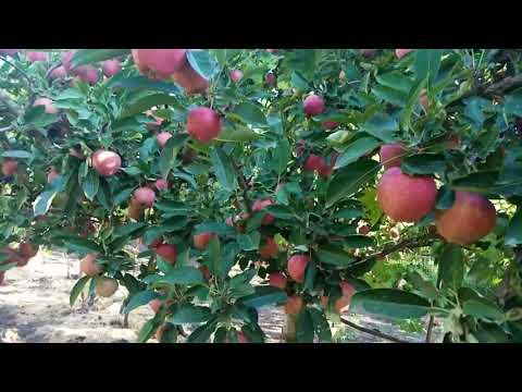 Яблоня  Азвел спур осенний сорт.