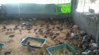 Bán gà sao 1 tháng tuổi .0978733852