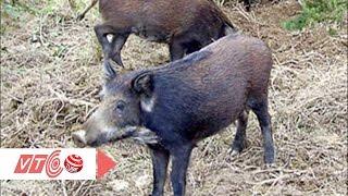 Kiếm bạc tỷ nhờ nuôi lợn rừng bằng thảo dược | VTC