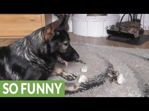 German Shepherd welcomes newborn baby chicks