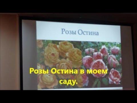 Посадка  розы Остина