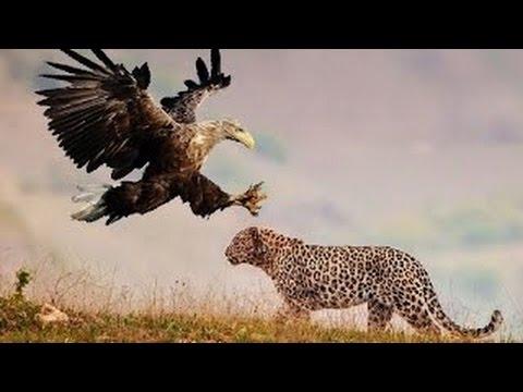Leopardo Vs. Águia Vs. Leão Vs. Hiena ( Leopard Vs. Eagle Vs. Lion Vs. Hyena )