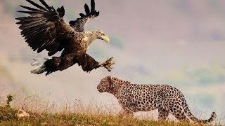 Leopardo vs. Águia vs. Leão vs. Hiena ( Leopard vs. Eagle vs. Lion vs. Hyena )