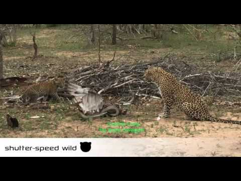 Leopard vs snake vs Eagle, Full Video