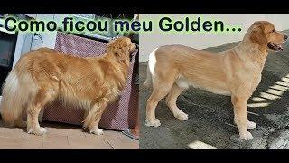 A Golden Retriever or a Labrador....Um Golden ou um labrador?? Video